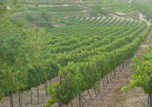 goush etzion vin vigne pessah